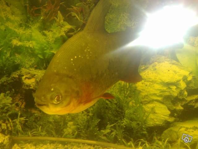 Trop gros pour mon petit aquarium for Gros poisson aquarium
