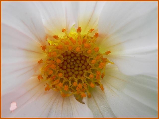 Dahlia imperialis - Page 3 P1170282-1633338