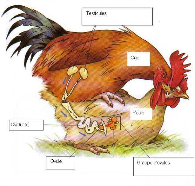 Anatomie Poule reproduction