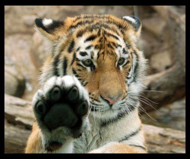 Image-tigre-patte-fanfan